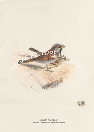HOUSE SPARROW - Passer Domesticus, Male & Female
